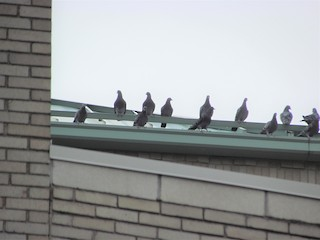 Rock Pigeon (Feral Pigeon), ML81517401