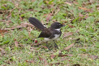 - Malaysian Pied-Fantail
