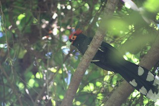 - Red-crested Malkoha
