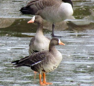 Greater White-fronted Goose, ML81637451