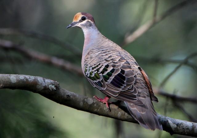 Common Bronzewing