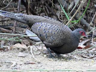 - Germain's Peacock-Pheasant