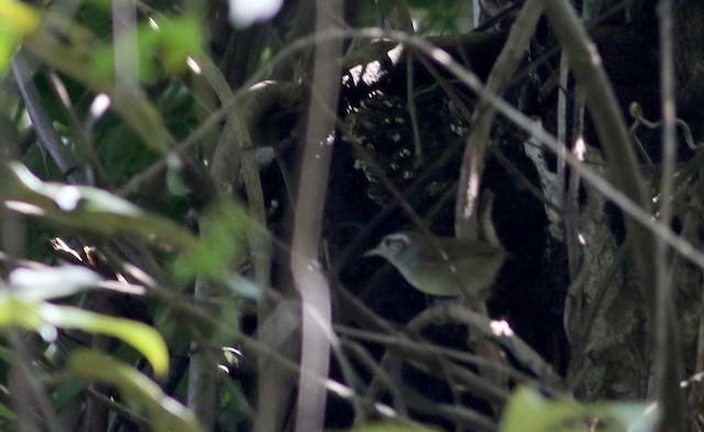 White-bellied Wren (Middle America)
