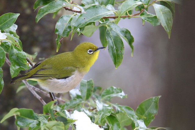 Warbling White-eye