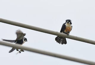 - Black-thighed Falconet