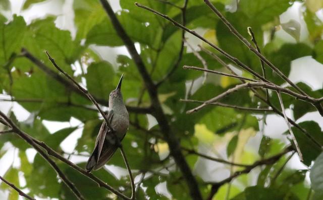 Scaly-breasted Hummingbird (Robert's)
