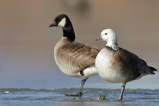Ross's x Cackling Goose (hybrid)