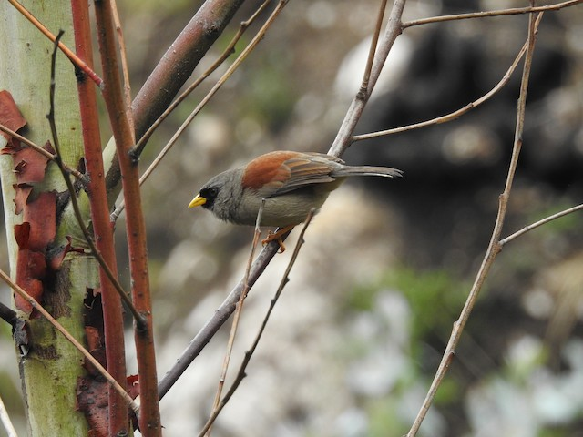 Rufous-backed Inca-Finch