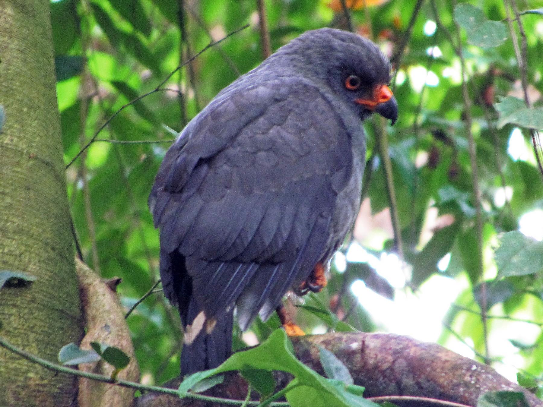 Plumbeous Hawk - Edwin Campbell whitehawkbirding.com