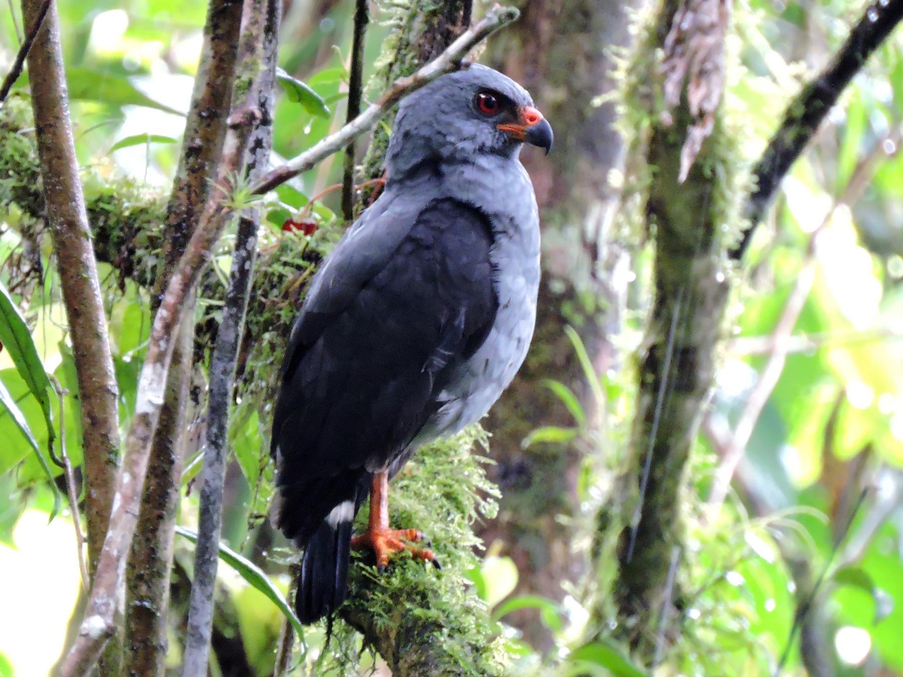 Plumbeous Hawk - Edwin Munera