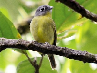 - Gray-headed Piprites