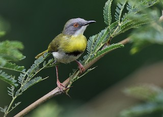 - Yellow-breasted Apalis