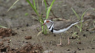 - Three-banded Plover