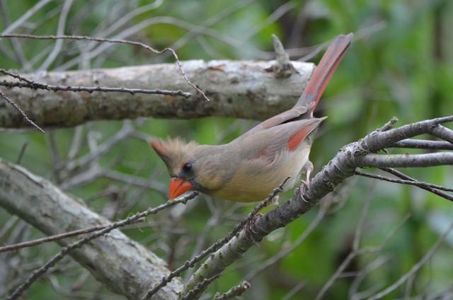 Female (presumably subspecies <em>magnirostris</em>).