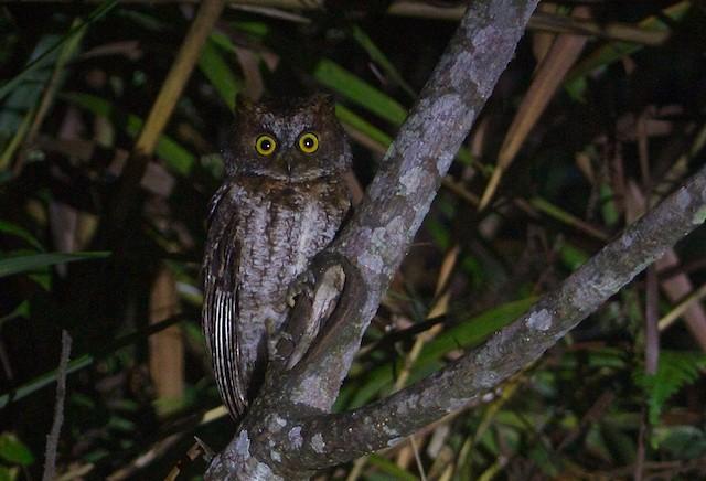 Luzon Scops-Owl
