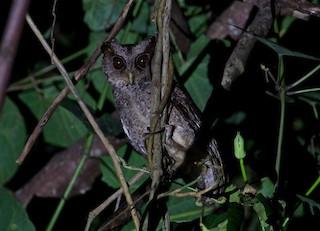 - Philippine Scops-Owl