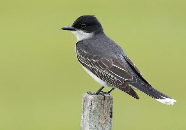 Appearance - Eastern Kingbird - Tyrannus tyrannus - Birds of the World