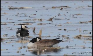 Barnacle Goose, ML82348941