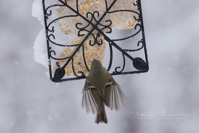 © Brian Murphy - Ruby-crowned Kinglet