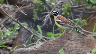 - Golden-breasted Bunting