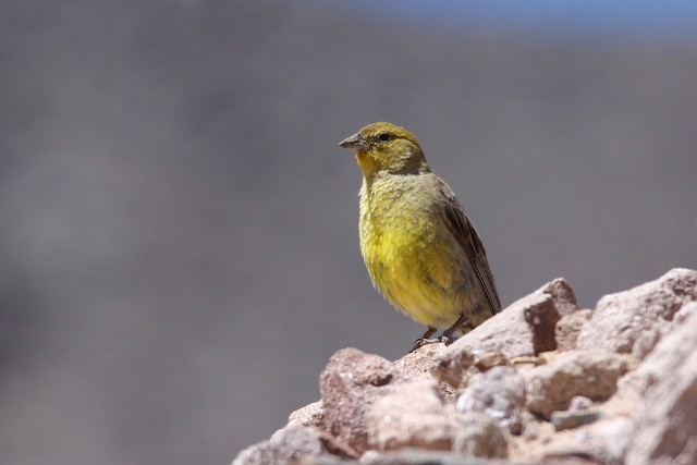 Greater Yellow-Finch