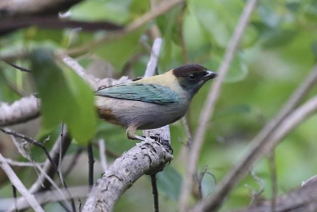 Lesser Antillean Tanager