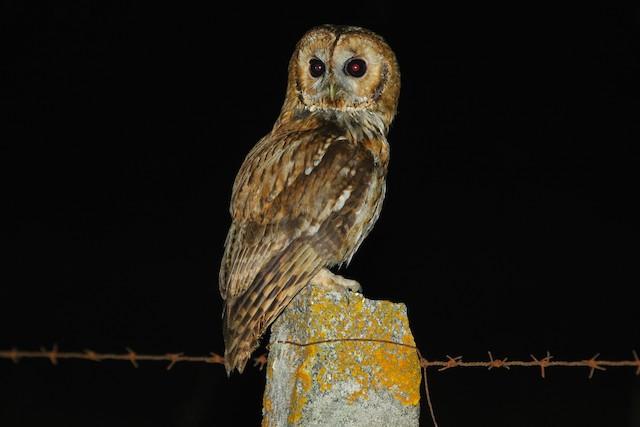 ©António Gonçalves - Tawny Owl