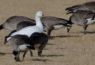 Ross's Goose, ML82657411