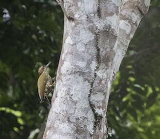- Brown-eared Woodpecker