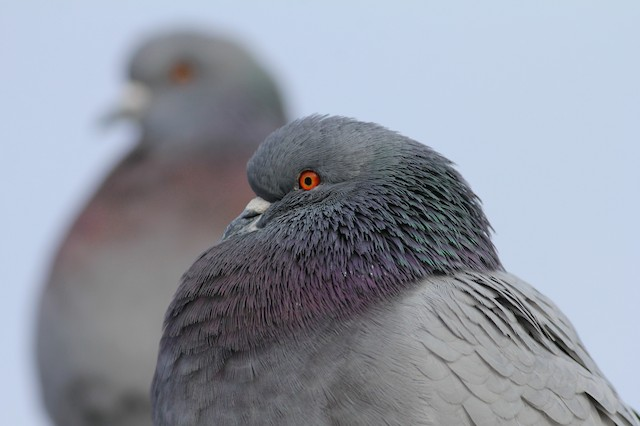©Andy Eckerson - Rock Pigeon (Feral Pigeon)