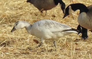 Snow Goose, ML82687561