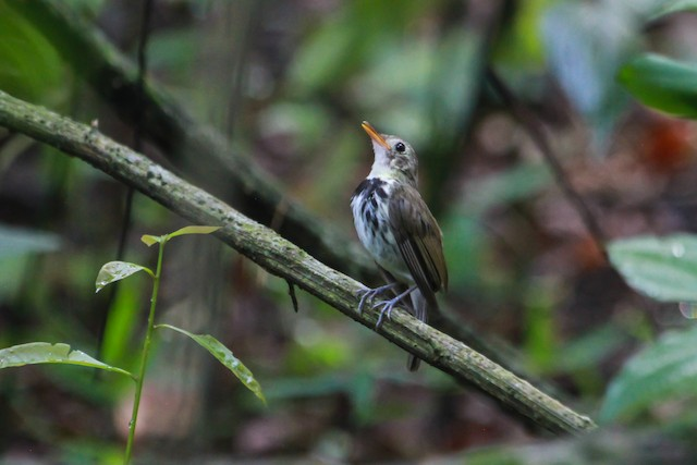 Southern Antpipit