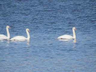 Mute Swan, ML82746101