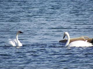 Trumpeter Swan, ML82759421