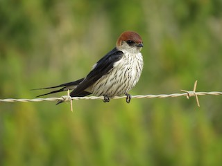 - Greater Striped Swallow