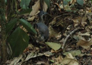 Slaty-breasted Tinamou