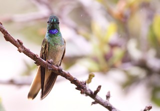 - Violet-throated Starfrontlet