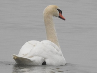 Mute Swan, ML82941141