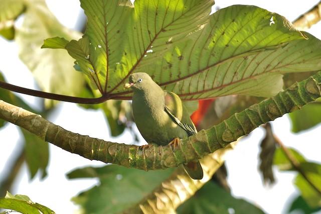 Sao Tome Green-Pigeon