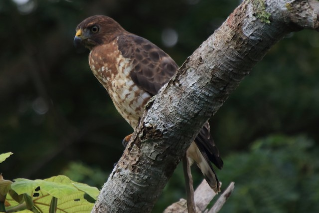 Broad-winged Hawk (Caribbean)