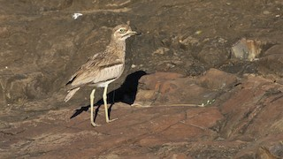 - Water Thick-knee