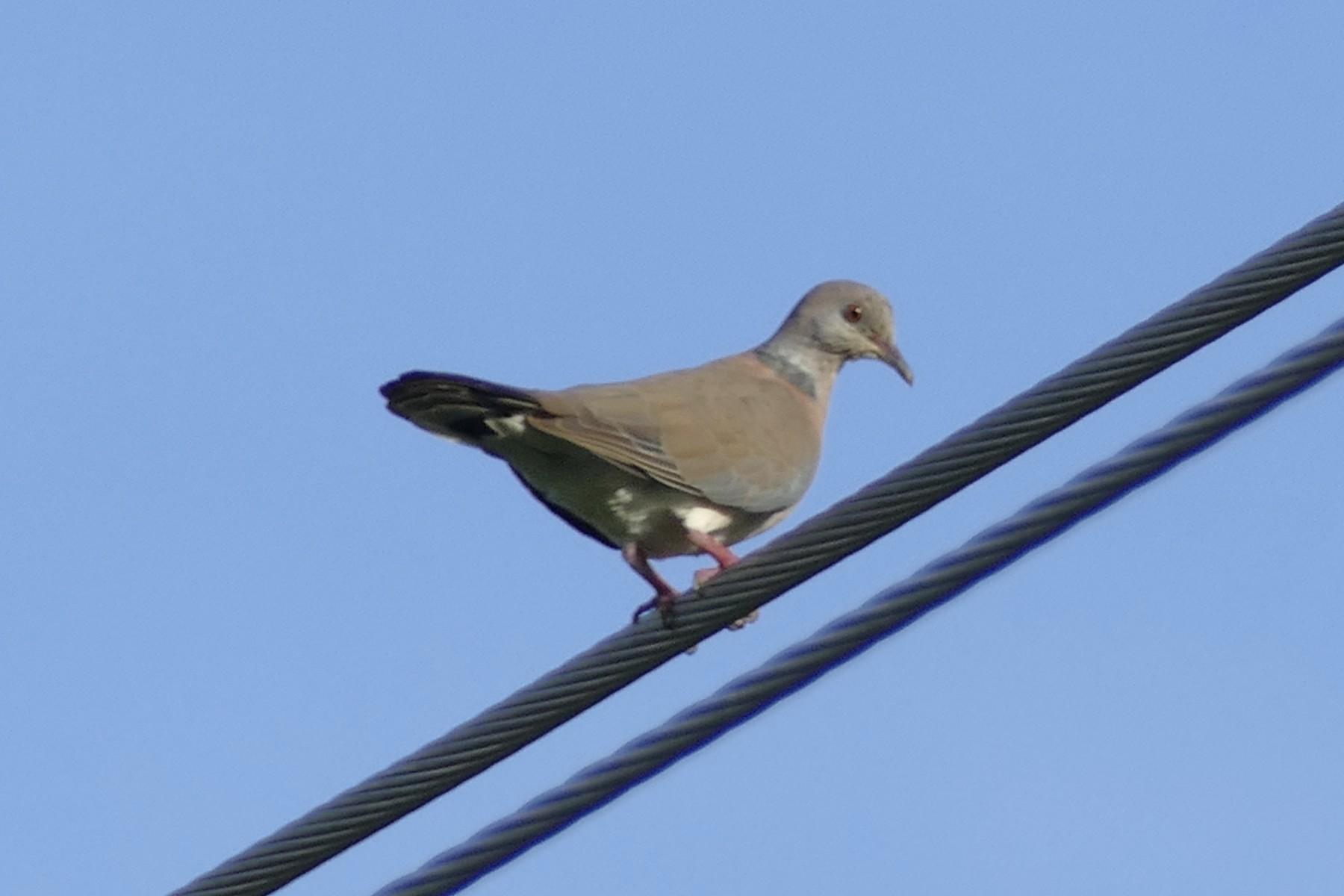 Philippine Collared-Dove - Peter Kaestner