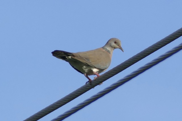 Philippine Collared-Dove