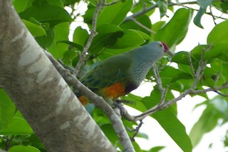 - Mariana Fruit-Dove