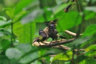 - Sao Tome Sunbird