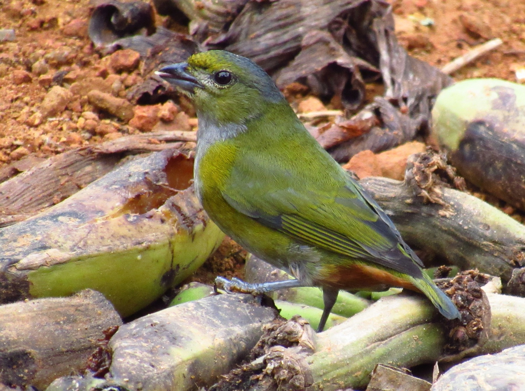 Chestnut-bellied Euphonia - Victor Vale