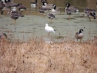 Ross's Goose, ML83112091