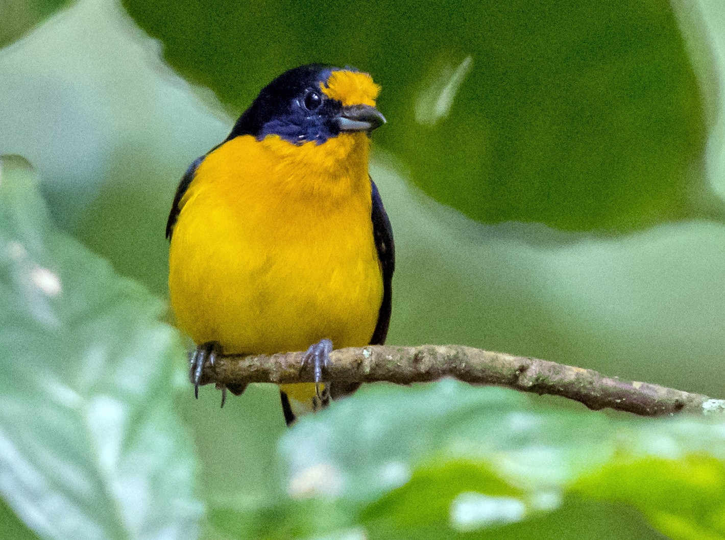 Violaceous Euphonia - Mathurin Malby