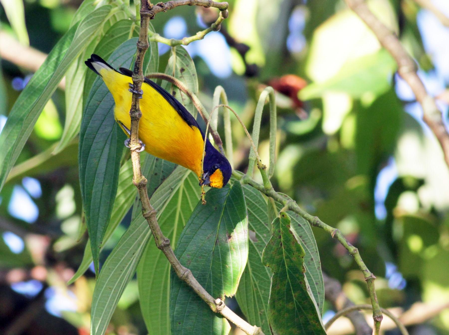 Violaceous Euphonia - Jay McGowan