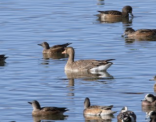 Greater White-fronted Goose, ML83168781